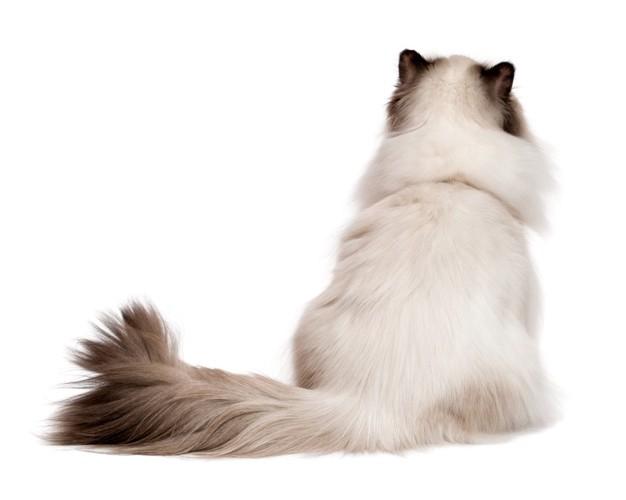 後ろ姿の長毛猫