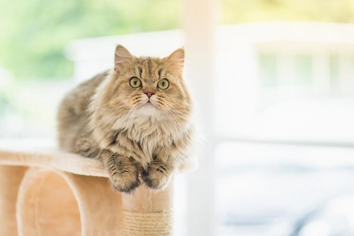 キャットタワーの上にいる猫