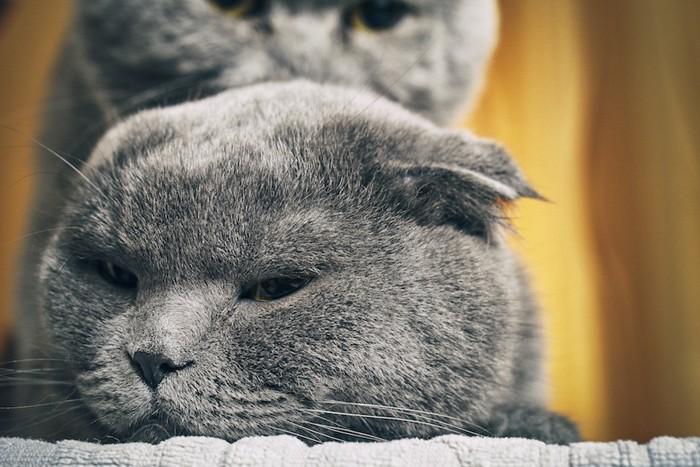 グレーの猫の上に乗るグレーの猫