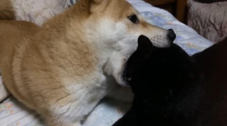 猫の頭を噛む犬