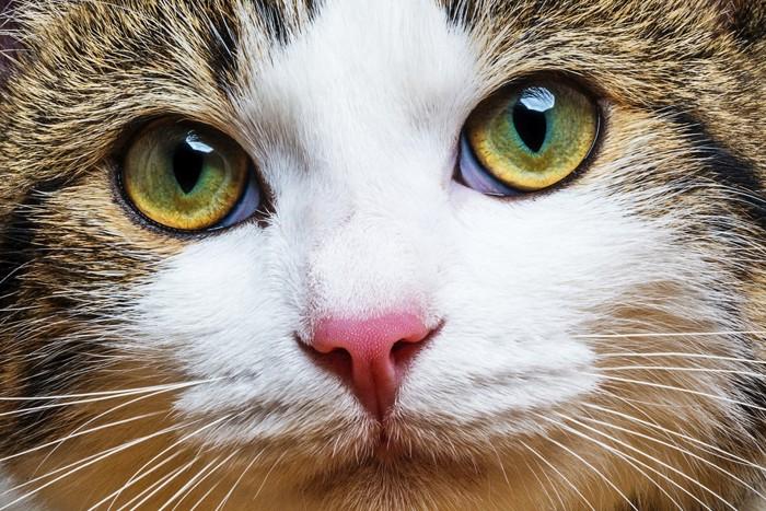 濃い黄色の猫の目