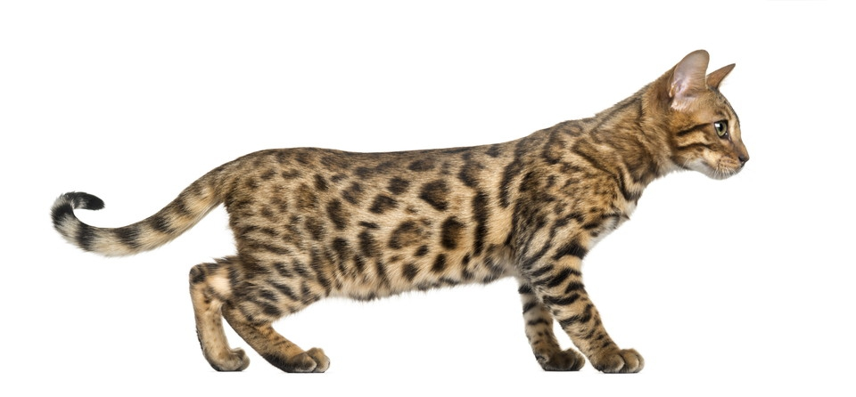 立った状態のベンガル猫