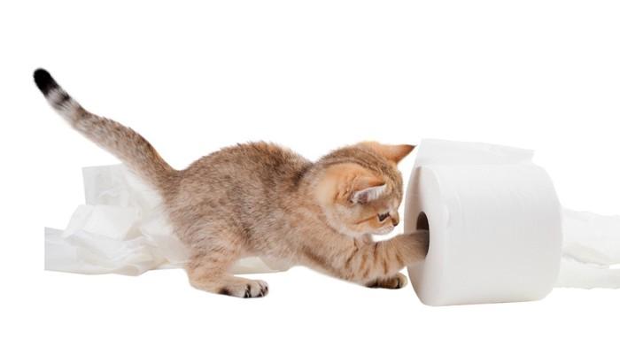 トイレットペーパーで遊んでいる子猫