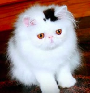 珍しい柄猫9