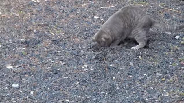 地面を掘る猫