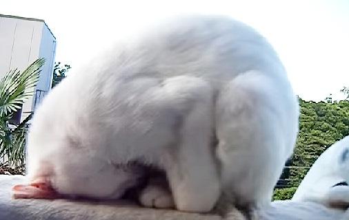 土下座で寝てる白猫