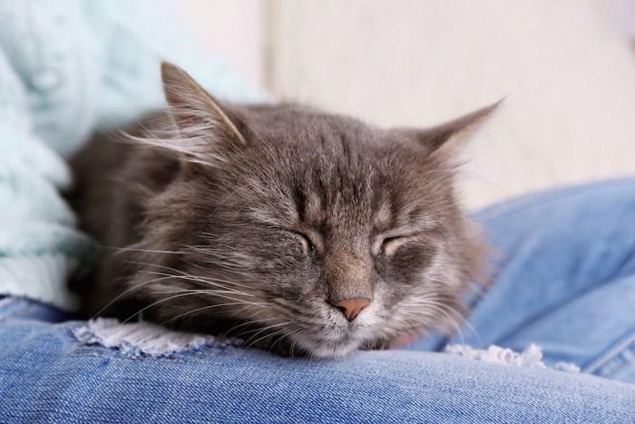 あぐらをかく飼い主の脚の上で眠る猫