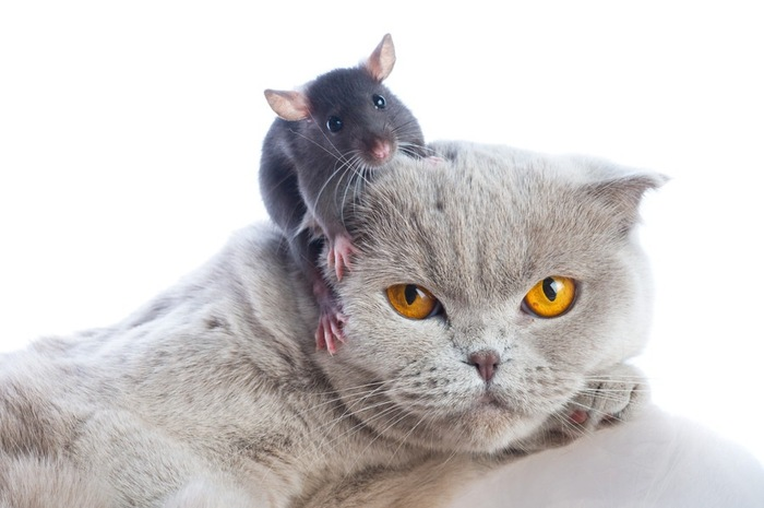 頭に鼠を乗せた猫