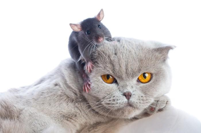 ネズミを乗せたブリティッシュショートヘア