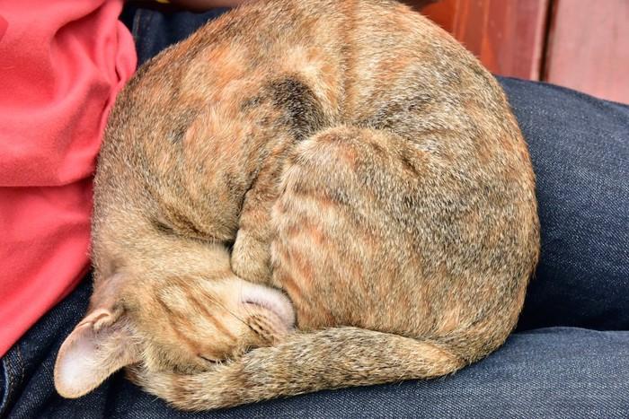飼い主の膝の上で丸くなって眠る猫