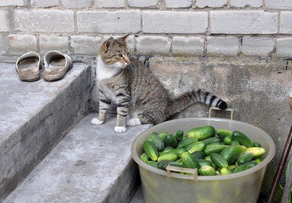 猫と大量のきゅうり