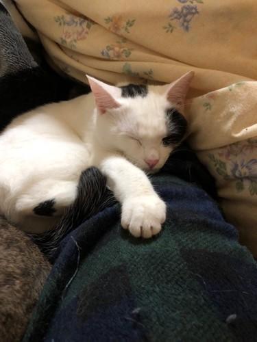 人の足の上で眠る白黒ぶち