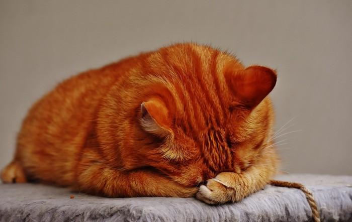 眠る黄色い猫