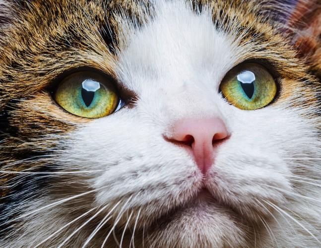 見つめる猫のアップ