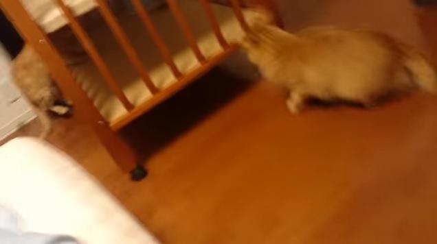 ベッドと物に挟まれそうな猫と追いかける猫