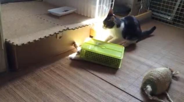 ケースから伸びる子猫の手と成猫