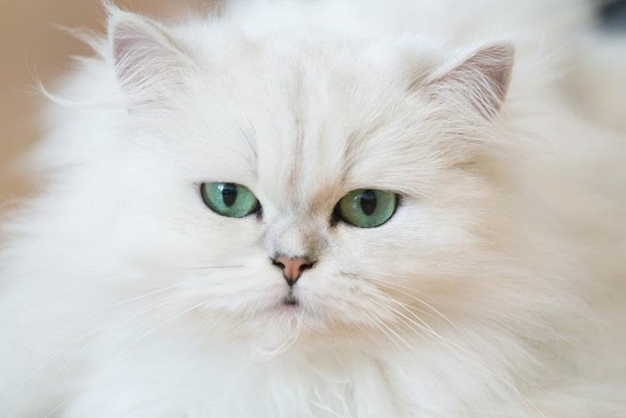ブルーの目をした白猫
