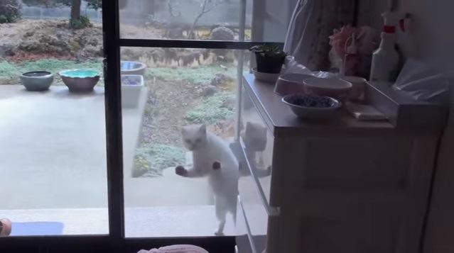 網戸に手をかける猫