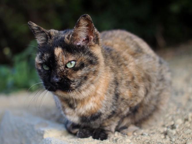 砂の上のサビ猫