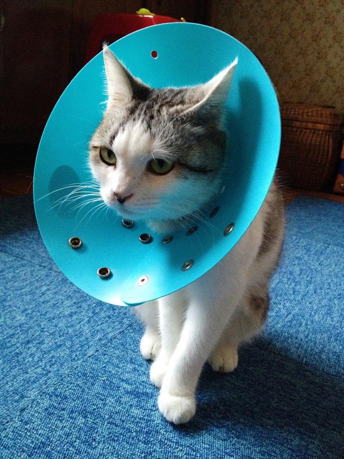 エリザベスカラーでしょんぼりする猫