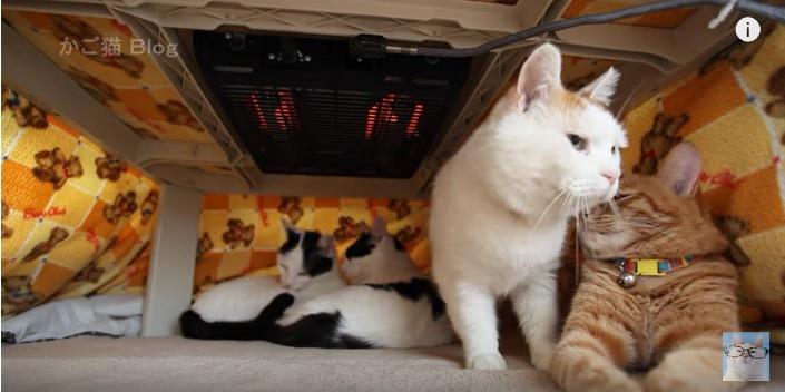 立ち上がる右側の白猫
