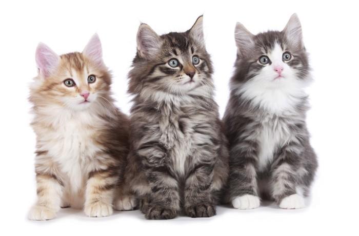 ルウェージャンフォレストキャットの子猫たち
