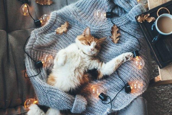 セーターの上で眠る猫