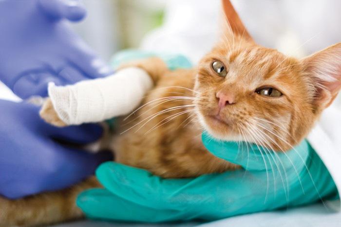 前足に包帯を巻いた猫