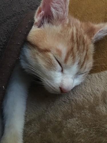 毛布で温まりながら眠る茶トラ白