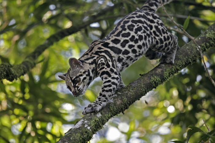 木の枝にいるオセロット