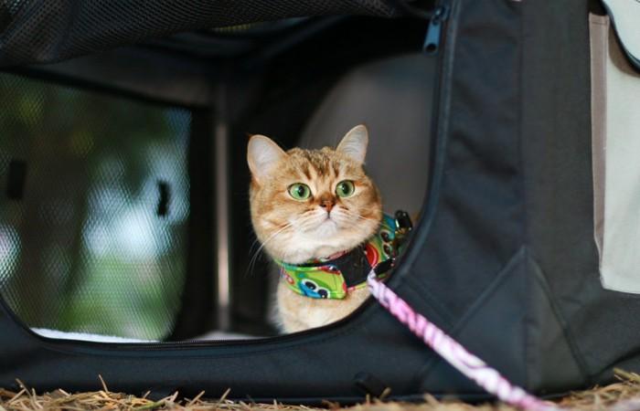 リードをしてキャンプする猫