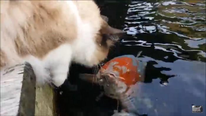 顔をだす鯉