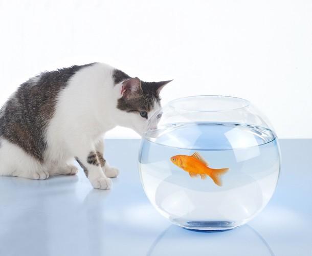 金魚鉢を見つめる猫