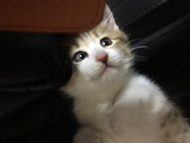 上目遣いのアップの子猫
