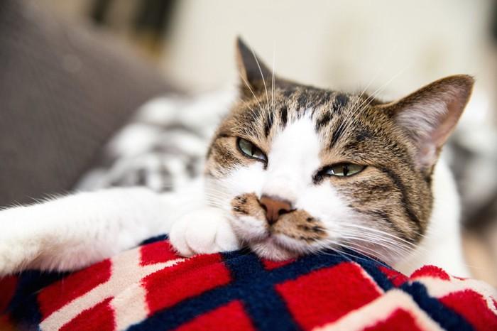 飼い主の膝の上で不機嫌なふて寝をする猫