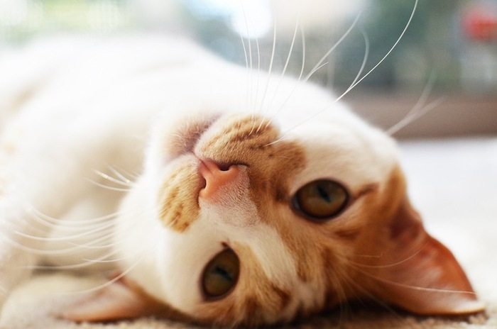 寝転んでこちらを見つめる脇の下が好きな猫