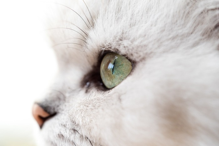 きれいな瞳の猫の横顔アップ