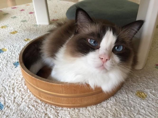 桶に入るきたねこ家の猫