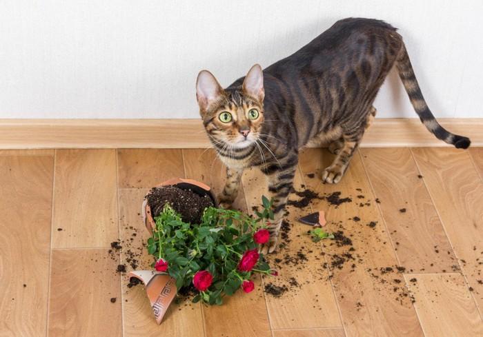 植木鉢を割って困った顔で見上げる猫