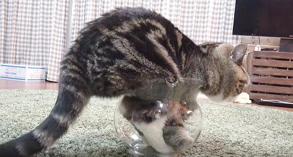 金魚鉢に入って落ち着いた猫