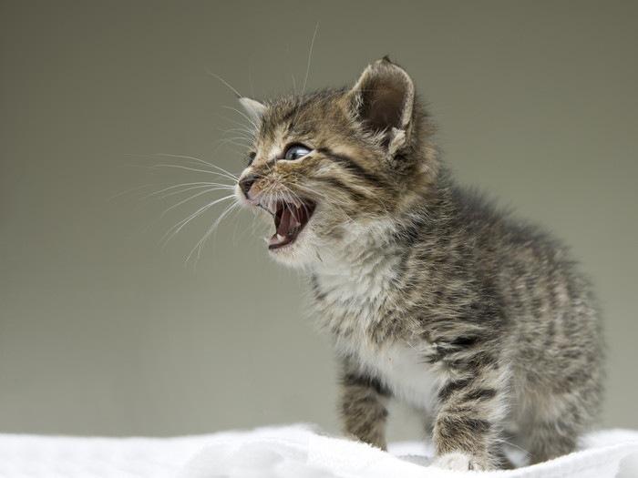ブランケットの上で鳴いている子猫
