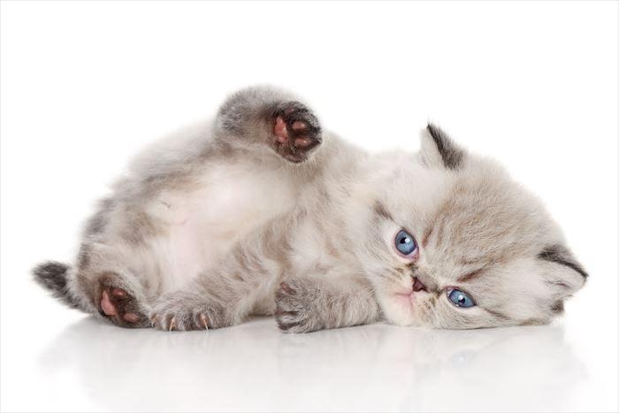 転がるエキゾチックショートヘア子猫