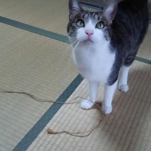 紐を追いかける猫