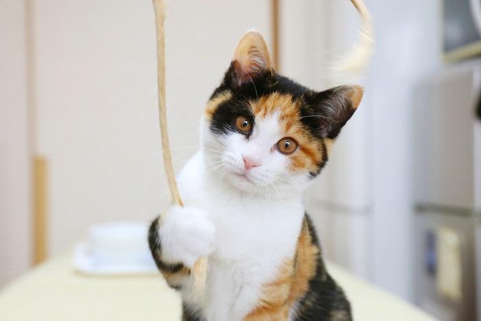 紐で遊ぶ三毛猫