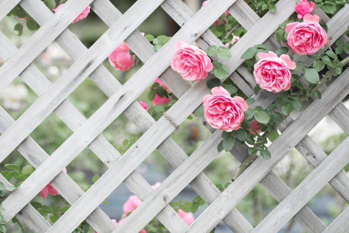 ピンクのバラとラティス