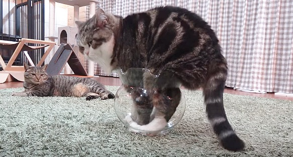 金魚鉢に後ろ足も入れる猫