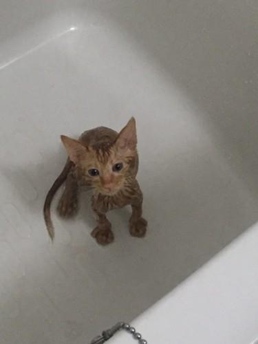 びしょ濡れの仔猫