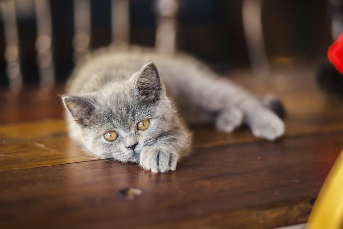 寝そべるロシアンブルーの子猫