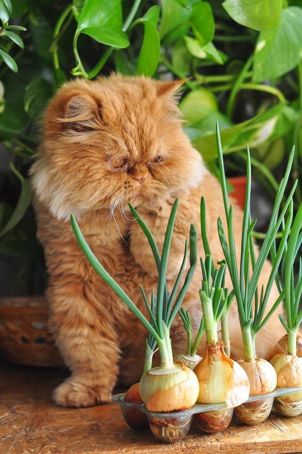 玉ねぎの横に座る猫