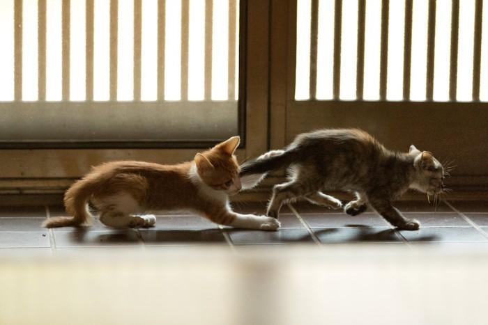 玄関前を走り抜ける2匹の子猫